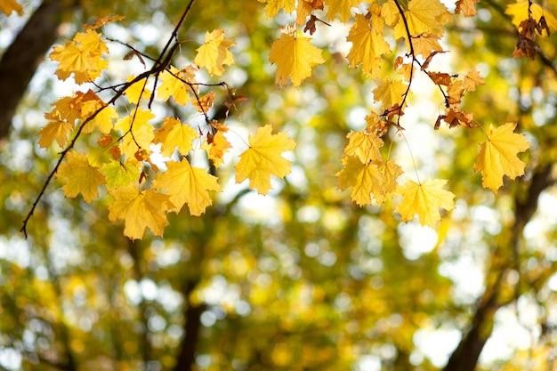 Natuurlijke herfst esdoorn bladeren op een tak, waardoor de ondergaande zon schijnt, achtergrond met kopieerruimte.