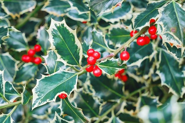 Natuurlijke hulstbladeren en bessenachtergrond. kerstmis en nieuwjaar patroon