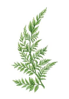 Natuurlijke illustratie met waterverfblad van varen op wit