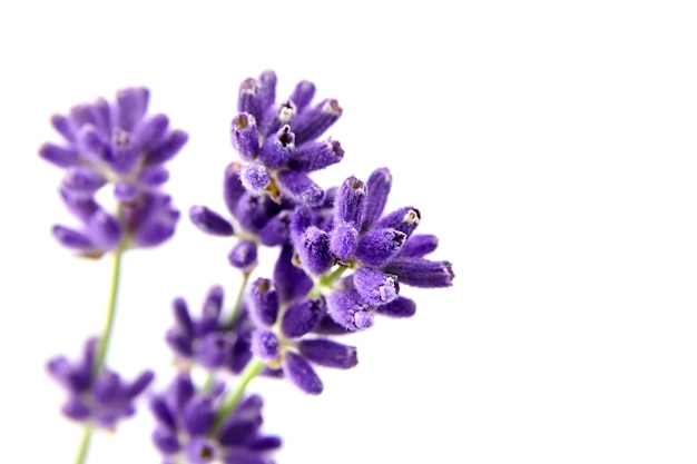 Natuurlijke lavendel bloemstelen geïsoleerd op wit