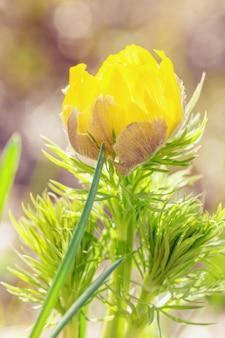 Natuurlijke lente gele bloesem adonis in de natuur. botanische bloemenscène met bloeiende buiten bloem.