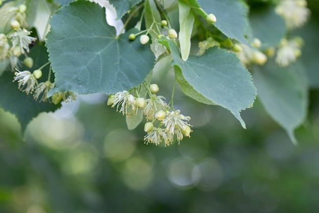 Natuurlijke linde (lime tree) bloemen op een boom in de tuin.
