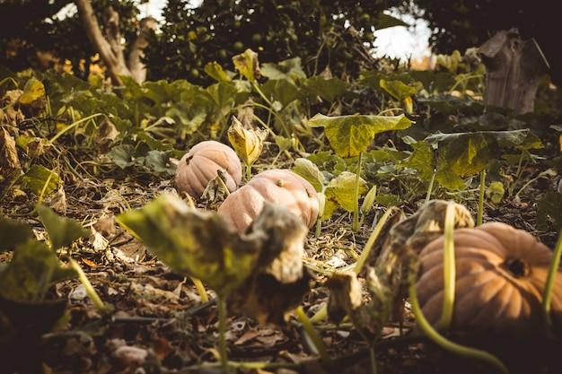 Natuurlijke pompoenen in het veld bereid om halloween te vieren