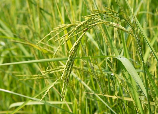 Natuurlijke rijstplant.
