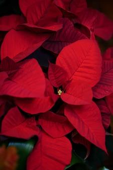 Natuurlijke rode kerststerren plant