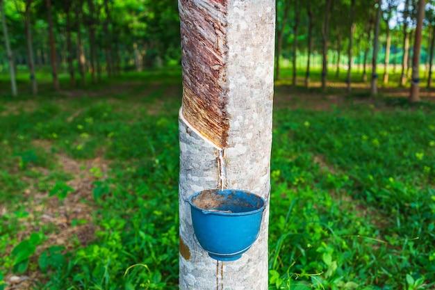 Natuurlijke rubberlatex van rubberbomen