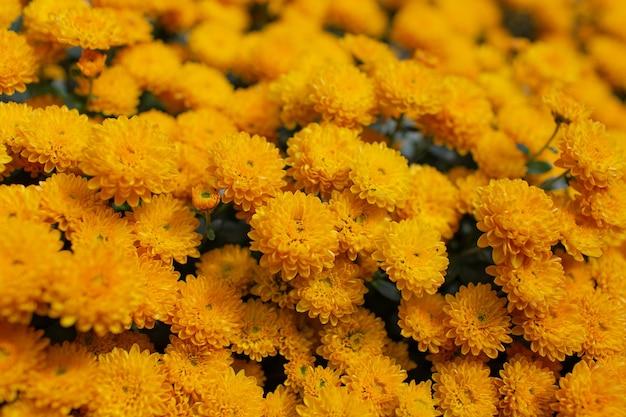 Natuurlijke samenvatting van bloeiende mooie gele chrysanten.