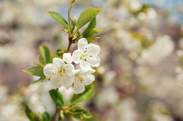 Natuurlijke textuur van bloeiende bomen. de close-up van bloesembomen als plaats voor tekst.