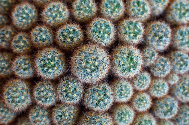 Natuurlijke textuur veel kleine groene cactus. bovenaanzicht achtergrond