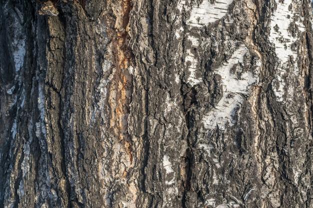 Natuurlijke verlichting en ruwe schors textuur van oude berk