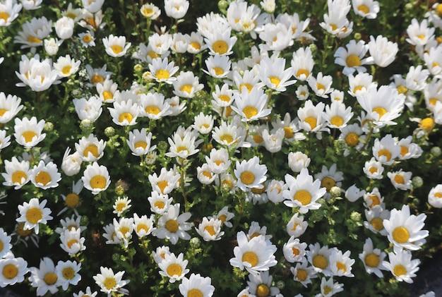 Natuurlijke verse bloeiende margrietbloemen die in de tuin verfraaien.