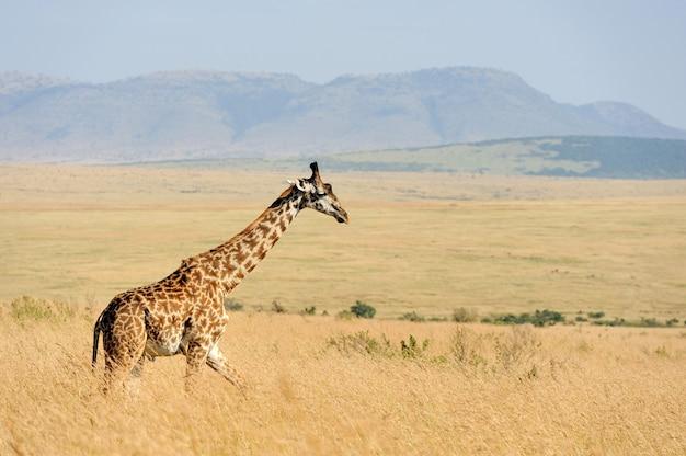 Nauwe giraf in nationaal park van kenia, afrika
