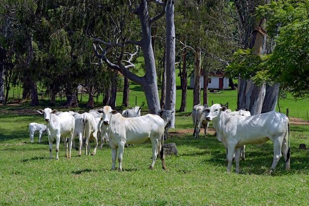 Nelore vee grazen onder de bomen