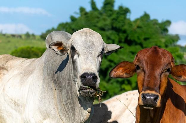 Nelore vee op weiland in zonnige dag