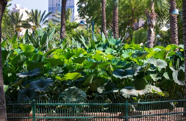 Nelumbo is een geslacht van waterplanten. groene lotus-bladeren in de tuin. bladnerven op grote groene lotusbladeren. nelumbonaceae is een familie van waterplanten. grote waterlelie in het park