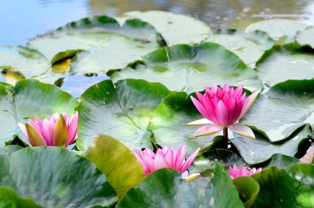 Nelumbo nucifera, ook wel indische lotus genoemd, in een waterreservoir