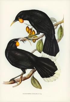 Neomorpha (neomorpha gouldii) geïllustreerd door elizabeth gould