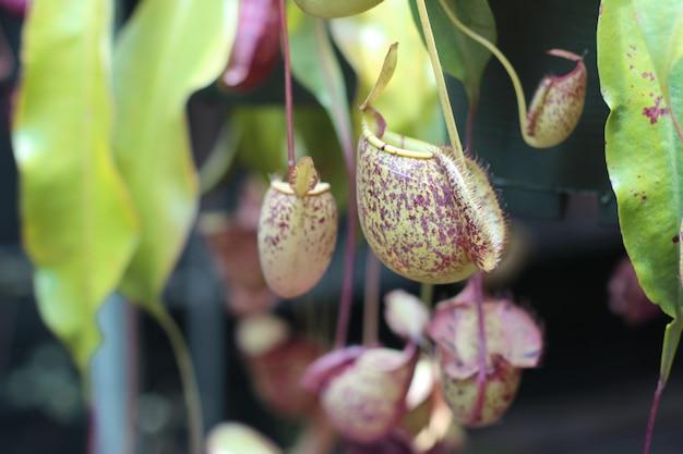 Nepenthes-boom, tropische waterkruik plant groei in aard