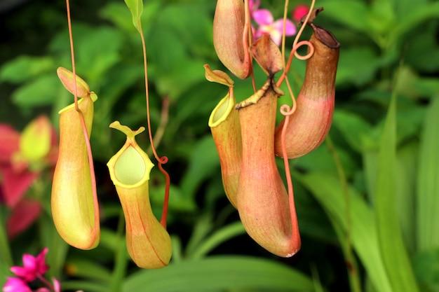 Nepenthes of tropische bekerplanten