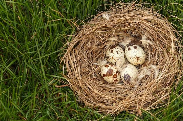 Nest met vier kwarteleitjes in groen gras in het bos