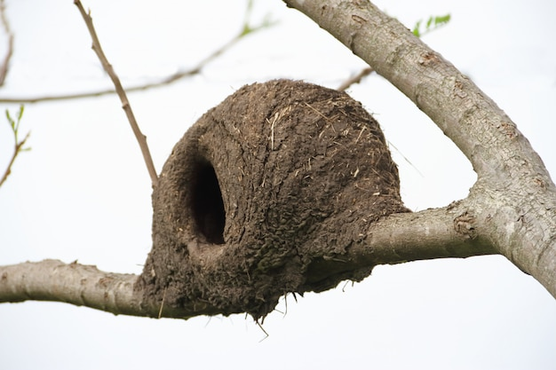 Nest van hornero