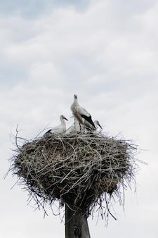 Nest van ooievaars in de natuur met vogels