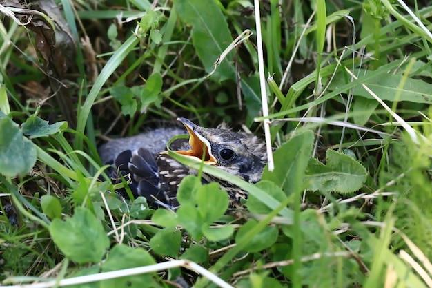 Nestvogel in het gras. geelsnavelsneeuwspreeuw zit in het gras en wacht op ouders. uit het nest gegooid om te leren vliegen..