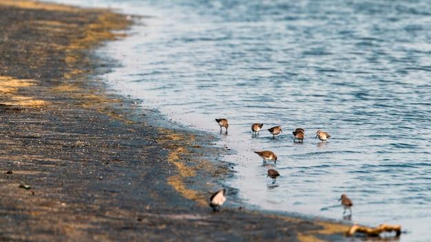 Netta vogels op het meer