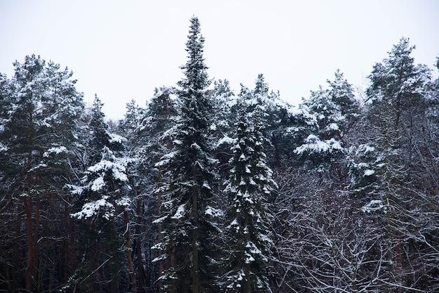 Nette boom met sneeuw in de winterbos, landschap.