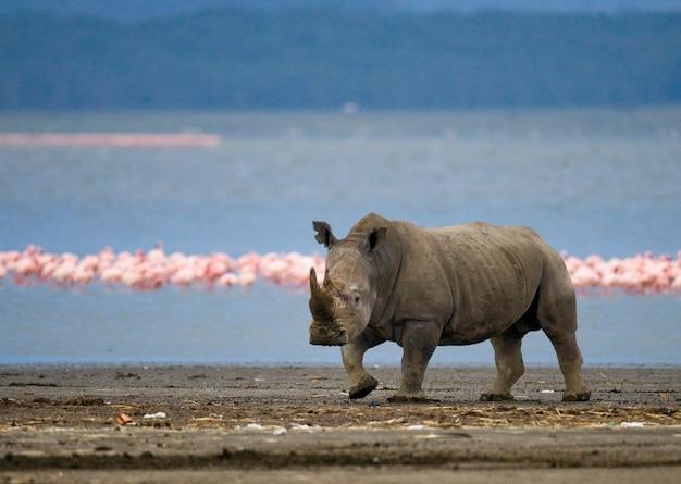Neushoorn staat op de achtergrond van het meer met flamingo's.