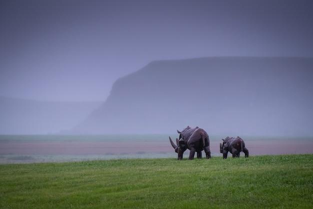 Neushoorns wandelen in een vallei