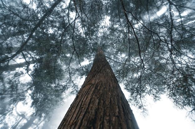 Nevelig bos, mist en dennenbos in het tropische woud van de winter, mist en dennen