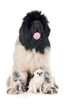 Newfoundland hond en chihuahua