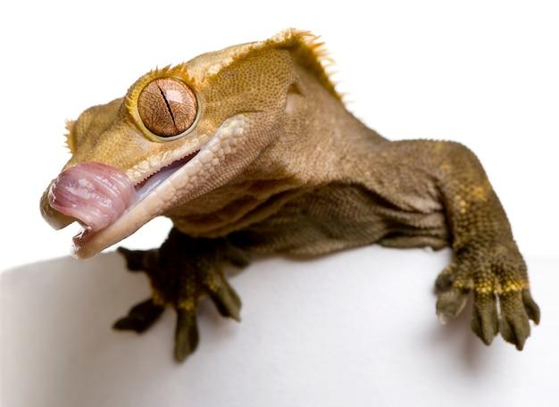 Nieuw-caledonische kuifgekko - rhacodactylus ciliatus die zijn mond likt