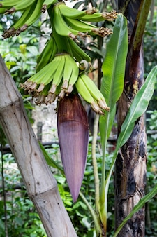 Nieuw groeiende bananentros met jonge bananen in de tuin met een bamboe steun