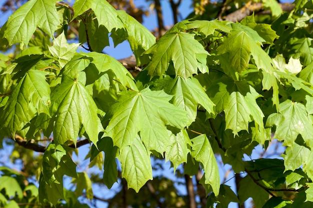 Nieuw groen esdoornblad in het voorjaar