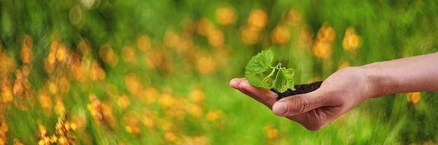 Nieuw leven jonge plant in zonlicht, groeien, zaailing.