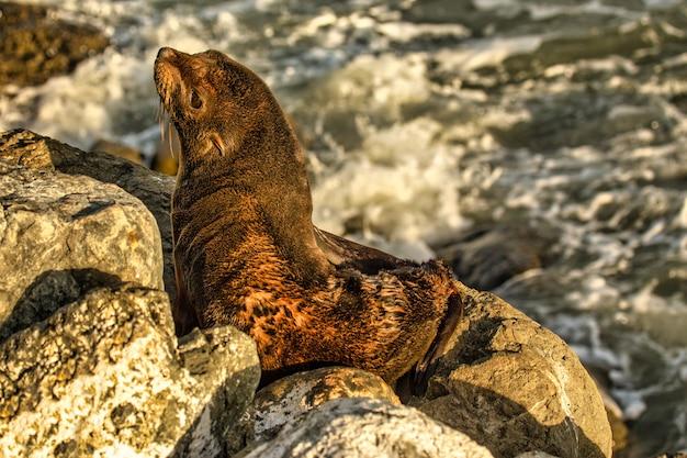 Nieuw-zeelandse pelsrob van een baby die net wakker is geworden uit zijn slaap op de rotsen aan de kust van kaikoura