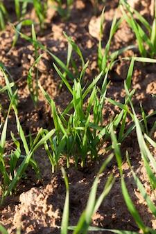 Nieuwe groene tarwe met druppels water en dauw na de regen in het veld, close-up