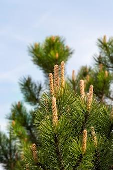 Nieuwe lange hobbels en spruiten van den in het voorjaar, close-up een achtergrond van blauwe hemel