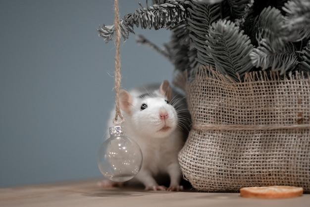 Nieuwjaar concept. leuke witte binnenlandse rat in het decor van een nieuwjaar. het symbool van 2020 is een rat