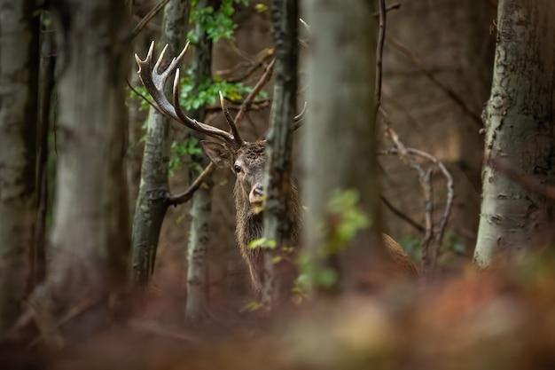 Nieuwsgierig edelhertmannetje die van achter een boom in bos kijken.