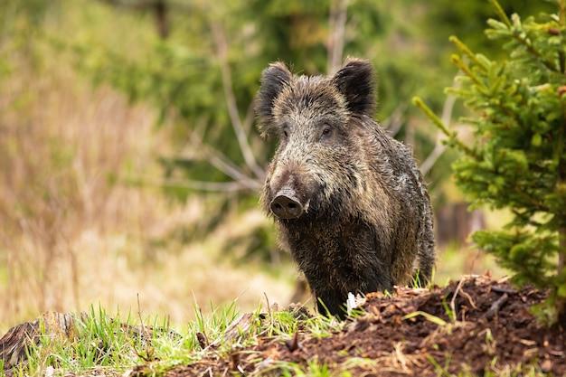 Nieuwsgierig everzwijn, sus scrofa, met natte vacht tijdens de wandeling door het bos