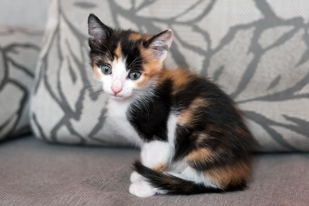Nieuwsgierig kitten. kleine kat thuis spelen op grijze bank. klein huisdier.