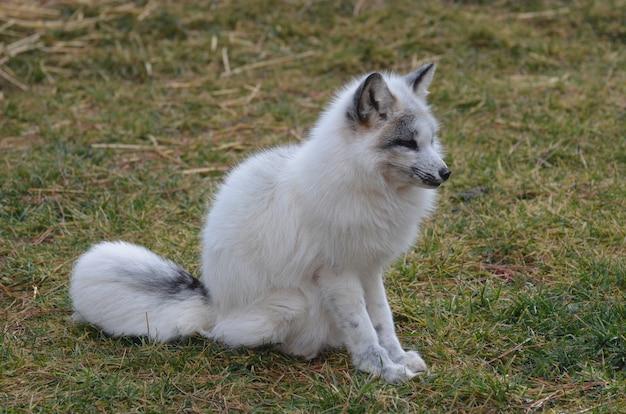 Nieuwsgierige en contemplatieve snelle vos in het wild