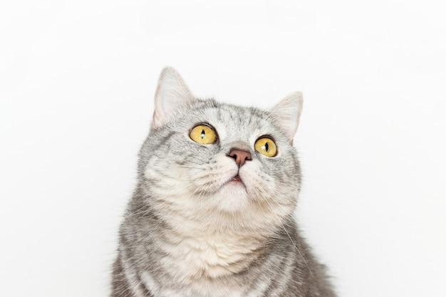 Nieuwsgierige en verbaasde schattige kat kijkt omhoog op de witte achtergrond