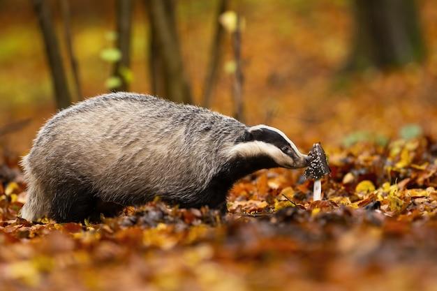 Nieuwsgierige europese das die de bosflora in de herfst onderzoekt