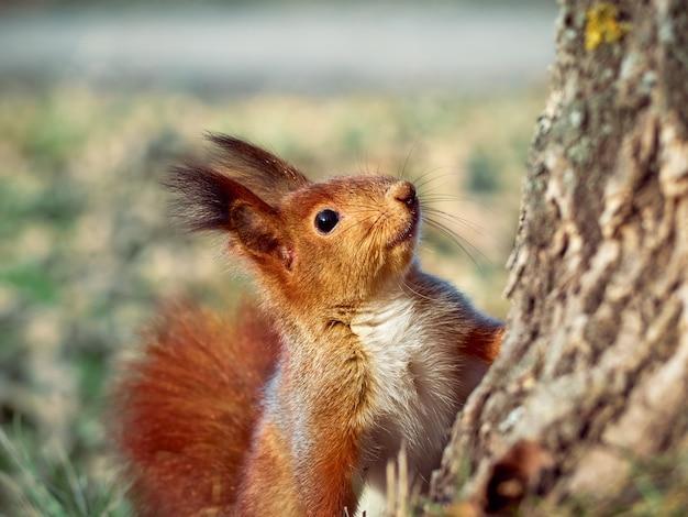 Nieuwsgierige europese eekhoorn.