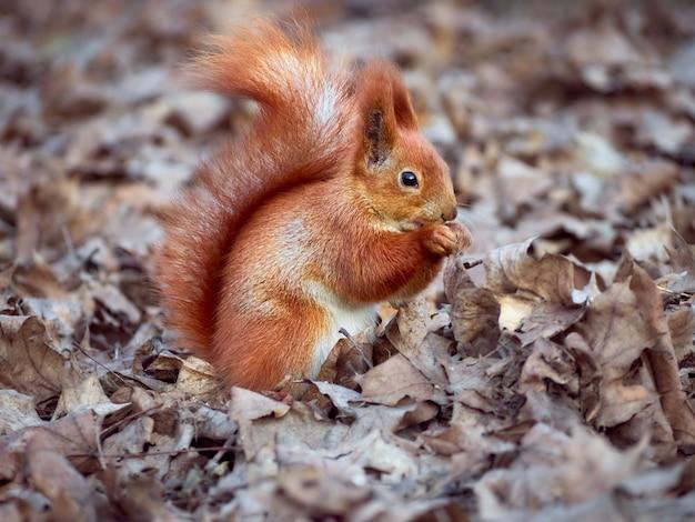 Nieuwsgierige europese eekhoorn