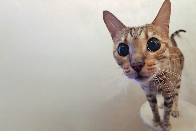 Nieuwsgierige grappige gevlekte kat die naar camera bengalen kijkt